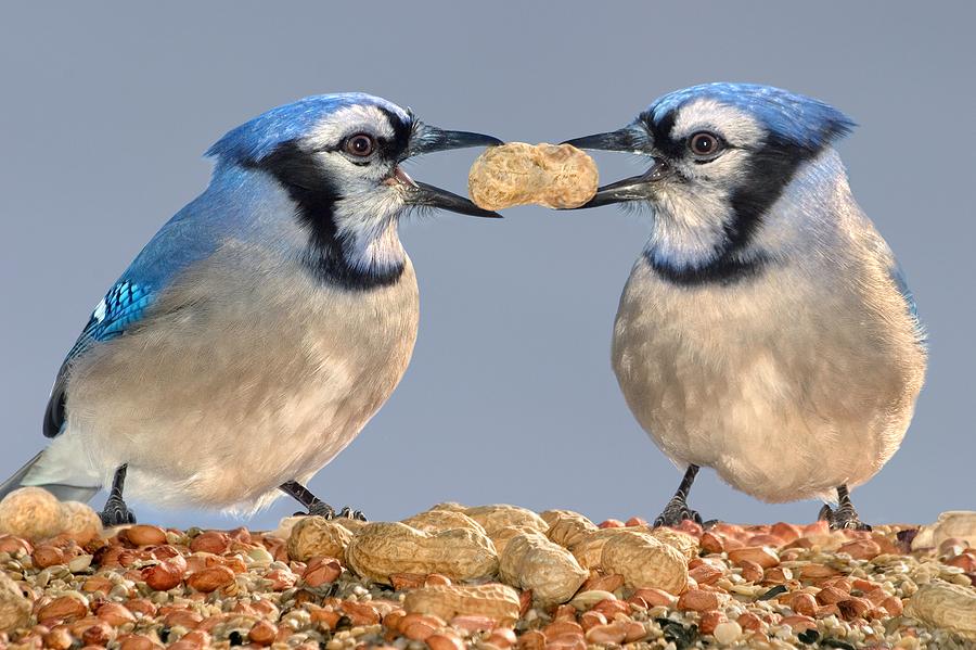 Blue Jays –  Peanuts and Trust